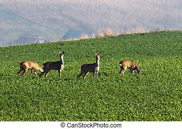 roe deers in the field