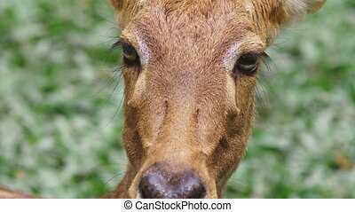 Roe eats grass in the forest, capreolus. Wild roe deer in...