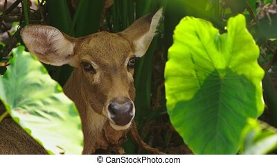 Roe eats grass in the forest, capreolus. Wild roe deer in nature. close-up