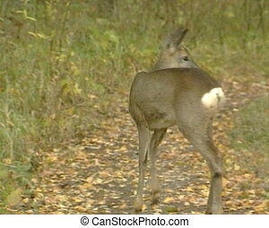 roe walk in forest - Young small roe walks in forest. View...