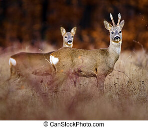 Roebuck and deer in the high grass