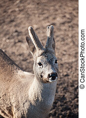 roebuck, com, horns., retrato, de, europeu, ova, deer., selvagem, bonito, animal.