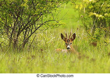 roebuck hiding in the grass