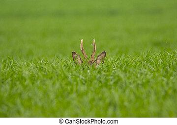 Roebuck in the grass