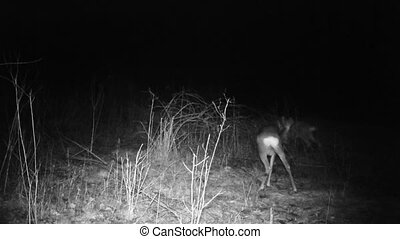 Roebucks (Capreolus capreolus) eat in a forest in a winter night. Animals and Wildlife FullHD 1080p Video. Roe deer (Capreolus capreolus) also know as chevreuil, buck (male) or doe (femanle) is a mammal ever-toed ungulate herbivore.