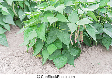 roeien, heuvel, struik, bonen, oogsten, washington, usa, draak, groeiende, tong, gereed, overvloed