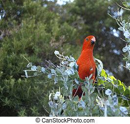 roi, australien, perroquet