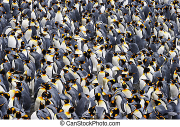 roi penguin, colony.