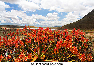 rojo, áloe planta, en, escénico, valle de montaña