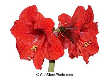 rojo, amaryllis