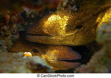 rojo, anguila de moray