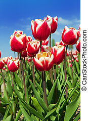 rojo, ans, blanco, tulipanes