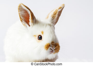 rojo blanco, conejo, cara