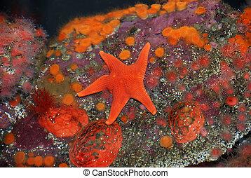 rojo, estrellas de mar