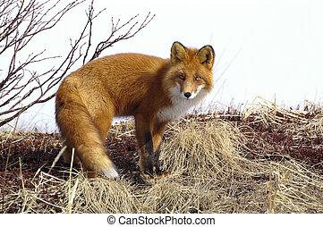 rojo, fox.