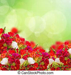 rojo, fresia, flores, en, jardín