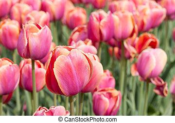 rojo, hermoso, tulipanes, campo, en, tiempo del resorte
