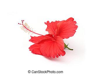 rojo, hibisco