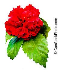rojo, hibisco, flor, aislado, blanco