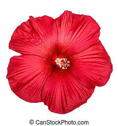 rojo, hibisco, flor, aislado, blanco, plano de fondo
