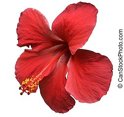 rojo, hibisco, flor, blanco