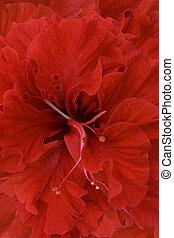rojo, hibisco, plano de fondo