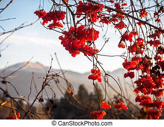 rojo, invierno, bayas