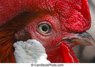 rojo, junglefowl, gallus, gallus, macho, aves, ojo, primer plano