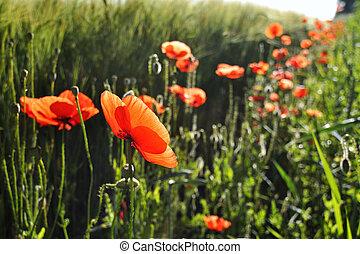 rojo, mala hierba