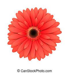 rojo, margarita, flor, aislado, blanco, -, 3d, render