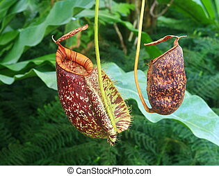 rojo, nepenthes