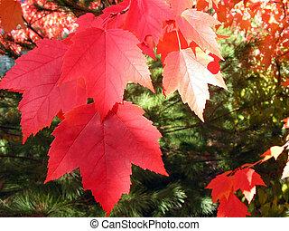 rojo, permisos de otoño