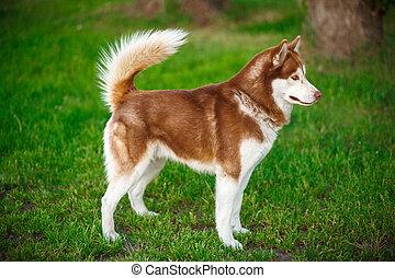 rojo, perro esquimal siberiano, en, un, campo