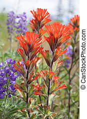 rojo, pincel indio, wildflowers, primer plano