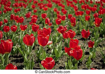 rojo, primavera, tulipanes