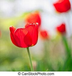 rojo, tulipanes