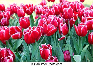 rojo, tulipanes, campo