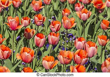 rojo, tulipanes, crecer, en, cantero