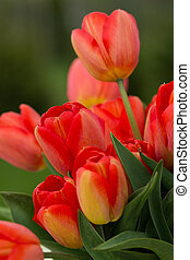 rojo, tulipanes, en el jardín
