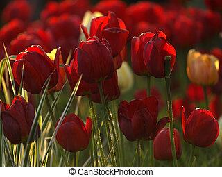 rojo, tulipanes, en, jardín