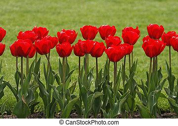 rojo, tulipanes, en, primavera