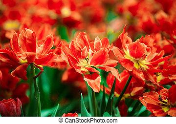 rojo, tulipanes, flores, en, primavera, flor del jardín, cama