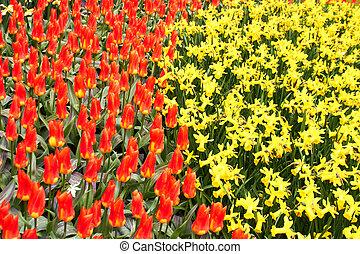 rojo, tulipanes, y, amarillo, narciso, en, keukenhof, jardín, países bajos