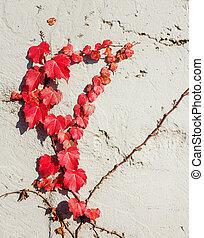 rojo, vid, planta, en, la pared