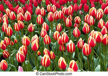 rojo y amarillo, tulipanes, en, keukenhof, jardín, países bajos