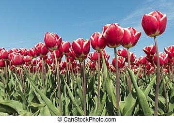 rojo y blanco, tulipanes, campo