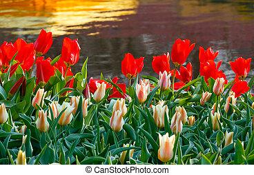 rojo y blanco, tulipanes, cerca, charca