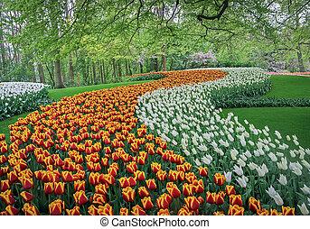 rojo y blanco, tulipanes, en, jardín