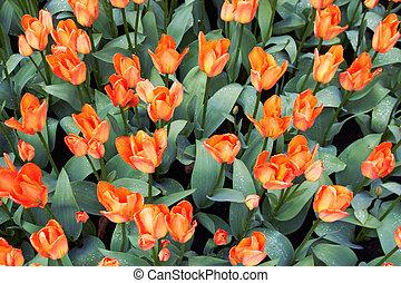 rojo y blanco, tulipanes, en, keukenhof, jardín, países bajos