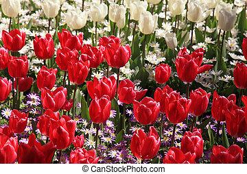 rojo y blanco, tulipanes, en, primavera, jardín